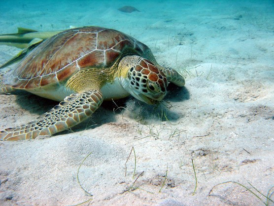 a Green Turtle is paused on a sandy seafloor, grazing on a few patches of sea grass