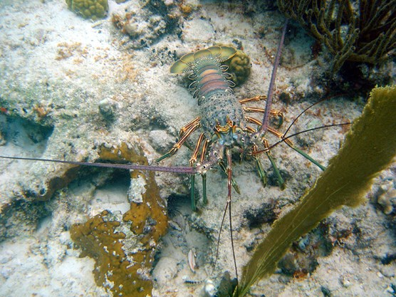 Spiny Lobster on a sunny seafloor