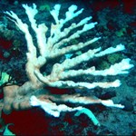 an underwater picture of an elkhorn coral skeleton