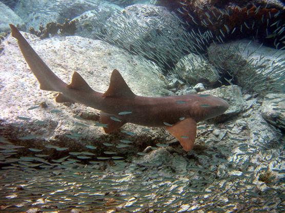 Nurse Shark Virgin Islands National Park U S National
