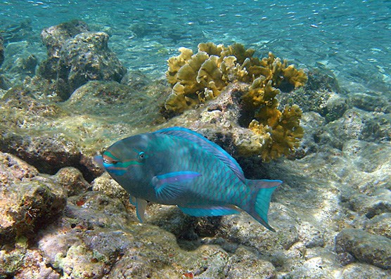 This Queen Parrotfish has its mouth slightly open so that you can see its fused teeth, which the fish uses to scrape hard, live corals for food.