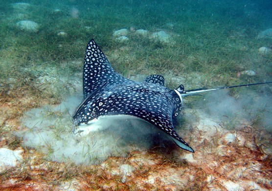 a spotted eagle ray looks for food by stirring up a sandy seafloor with its mouth