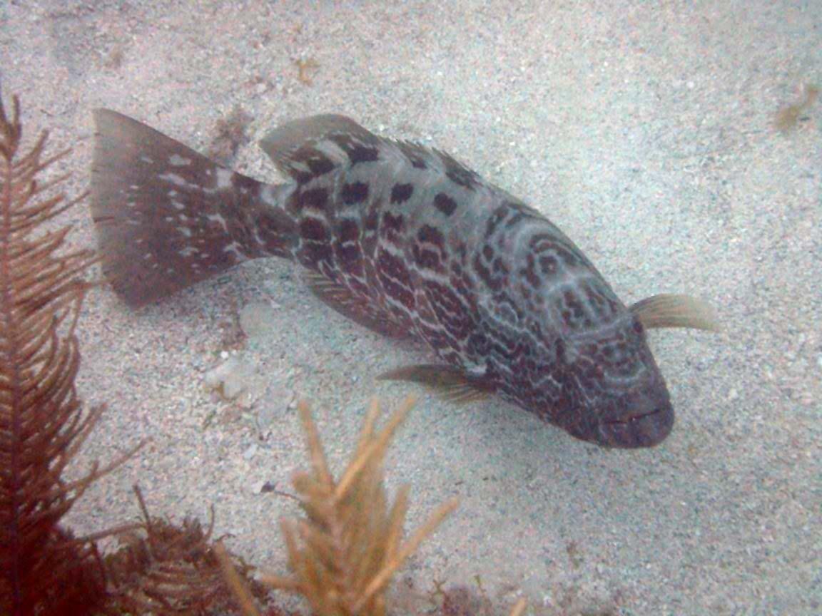 Virgin Islands Groupers Grunts Virgin Islands National Park