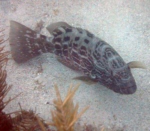 Black Grouper (Mycteroperca bonaci)