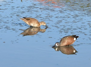 Blue-winged Teal (Anas discors) Will Sprauve 300x222