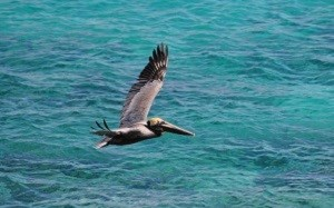 Brown Pelican (Pelecanus occidentalis) Jayne Schaeffer