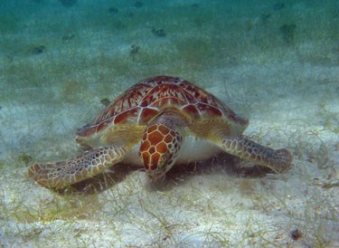 Green Turtle Grazing Seagrass