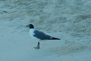 Laughing Gull Maho Bay