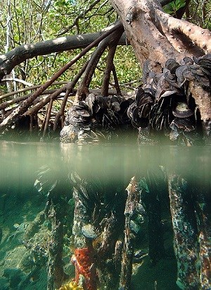 Mangrove roots by Caroline Rogers