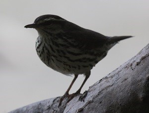 Northern Waterthrush (Parkesia noveboracensis) David Horner
