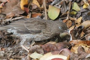 Pearly-eyed Thrasher (Margarops fuscatus) David Horner