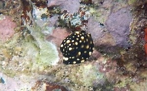 Smooth Trunkfish (Latorphrys triqueter)