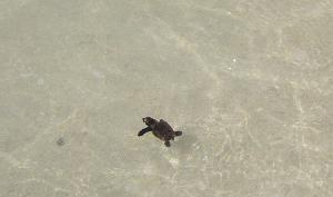 turtle hatchling swimming by Annie Caswell