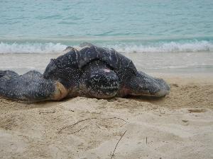 5bf8dff46d Turtles of the Virgin Islands - Virgin Islands National Park (U.S. ...