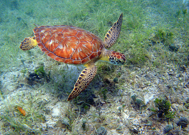 Green turtle gliding