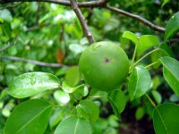 Hippomane mancinella_Death apple