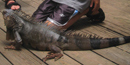 An iguana finds its way on to the patio at maho bay campground much to the delay of kids.