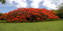 The ornamental flamboyant tree is covered in bright orange-red blossom when in bloom.