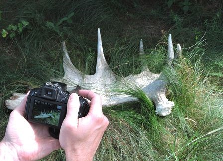 Taking a picture of a moose antler