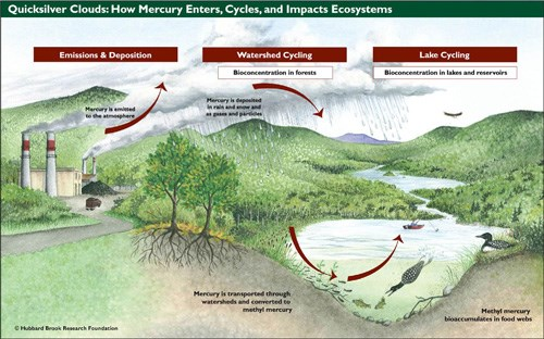 Diagram of how mercury enters, cycles, and impacts ecosystems