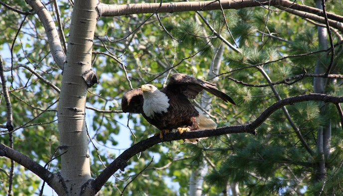 A mature eagle ready to take flight from a tree