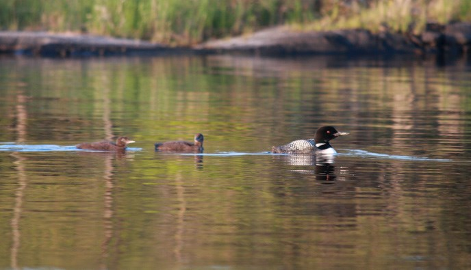 An adult loon with two chicks swimming