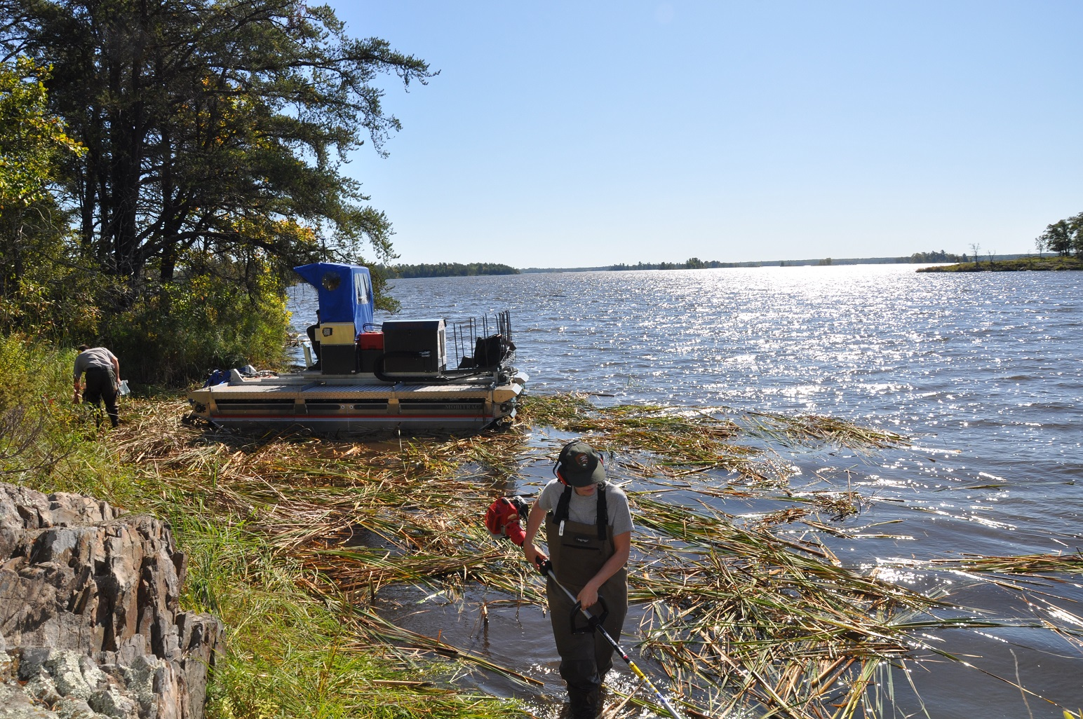 Two staff members use trimmers to cut down cattails. A pontoon like boat moored on the shoreline.  Cattail parts floating in the water.
