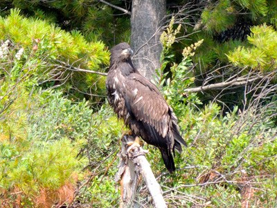 A juvenile bald eagle perched on a dead tree