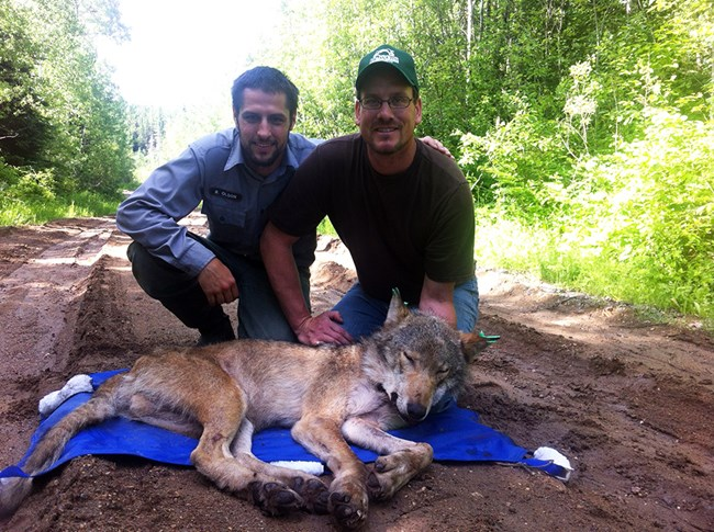 Two park researchers kneel behind a tranquilized wolf lying on a tarp. One researcher gently holds the wolf's head up so it can breathe clearly.