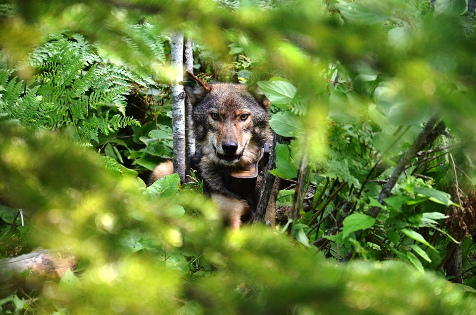 A gray wolf with yellow eyes peers at the viewer from behind a dense thicket of branches and green leaves. A collar with a leather radio transmitter is snugly fitted around the wolf's neck.