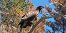 An immature bald eagle perches on a branch on its former nesting tree.