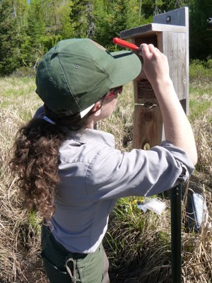 A park biologist looking inside a birdhouse
