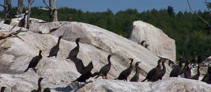 Double Crested Cormorants sitting on a rock