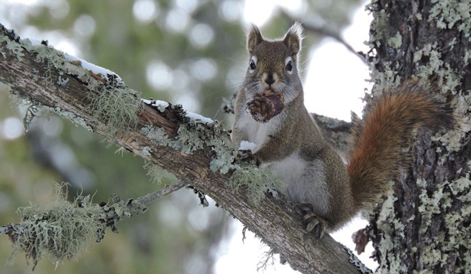 Red squirrel with a pine cone in its mouth