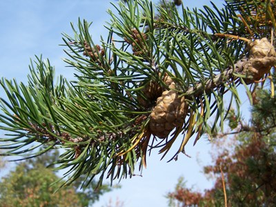 A pine tree with a cone