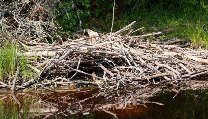 Beavers build their lodges by piling up tree limbs