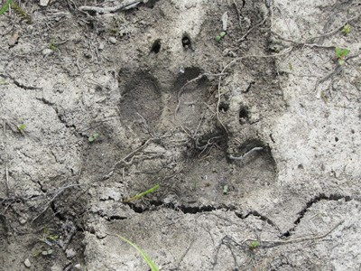 A wolf track left behind in dried mud