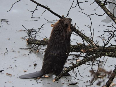 Beaver chewing on a tree