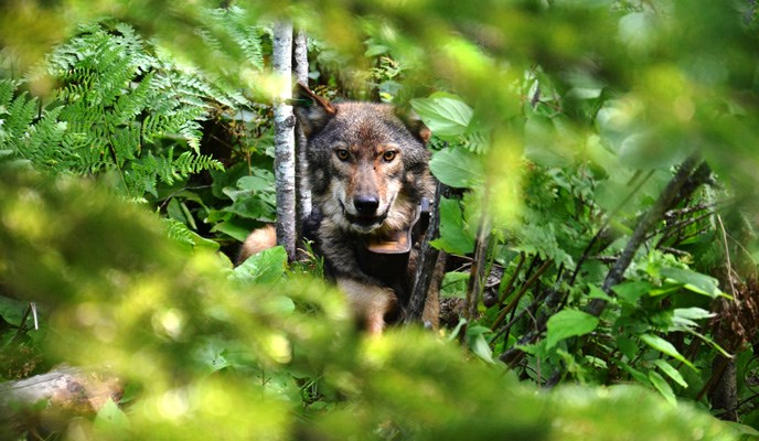 This wolf is one of several collared and tagged wolves in Voyageurs National Park.