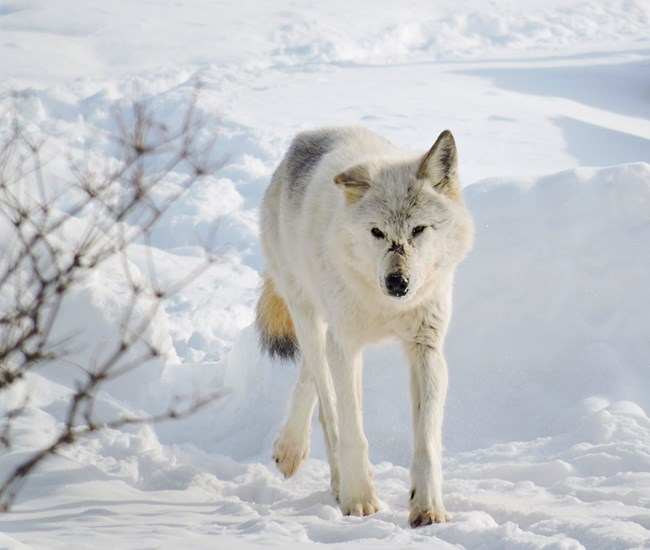 A white wolf with a black scar on its muzzle walks on a snowy lake shore
