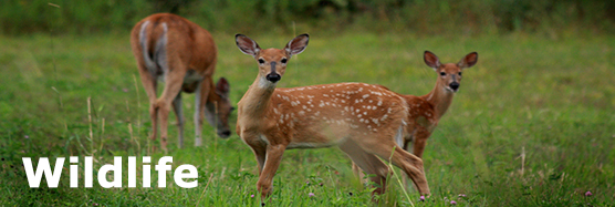 A deer and two fawns eating grass