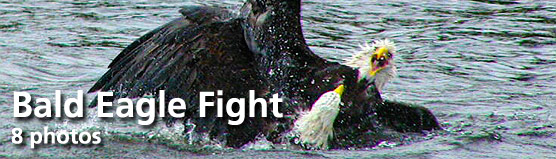 "Click here for ""Bald Eagle Fight"" photo gallery"
