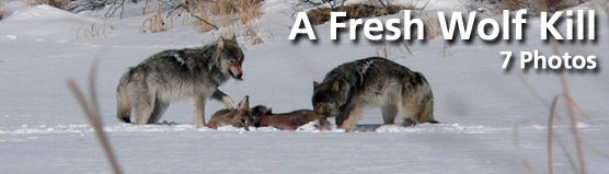 "Click here for ""A Fresh Wolf Kill"" photo gallery"