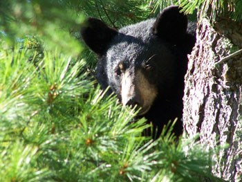 Black Bear on Rainy Lake