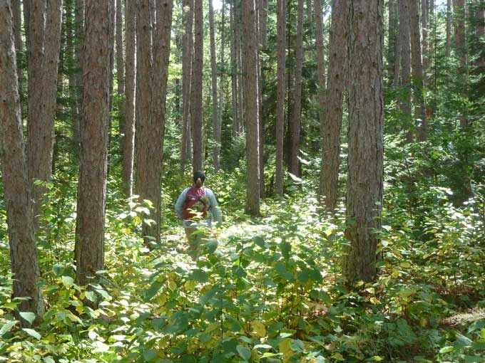 Visitor Hiking through a Red Pine forest
