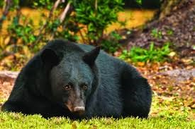 A black bear lays on the ground, with green and yellow brush behind it.