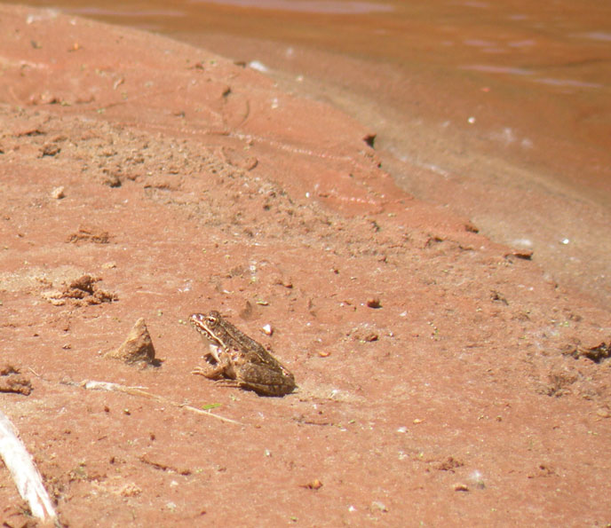 Frog on the banks