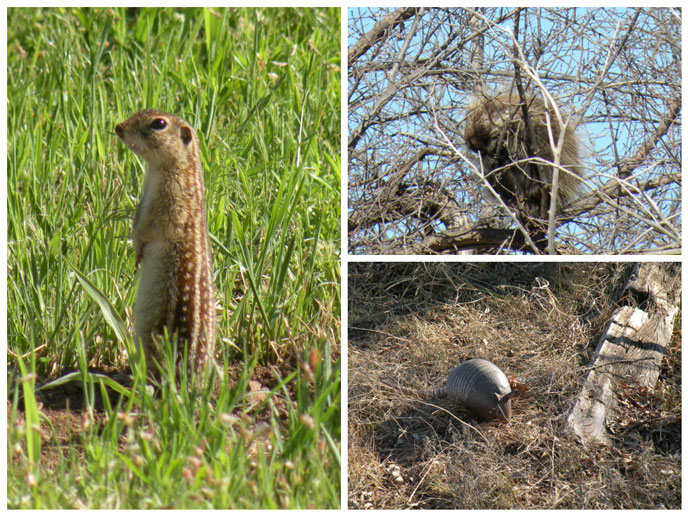 Mammals of Washita Battlefield NHS (Left: Ground Squirrel, Top Right: Porcupine in a Tree, Bottom Right: Armadillo)