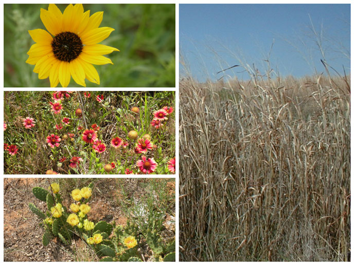 Plants of the Prairie at Washita Battlefield (Top Left: Plains Sunflower, Middle Left: Indian Blankets Bed, Bottom Left: Prickly Pear, Right: Sand Bluestem)