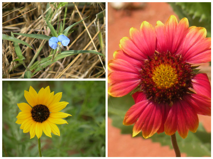 Wildflowers at Washita (Top Left: Dayflower, Bottom Left: Plains Sunflower, Right: Indian Blanket)